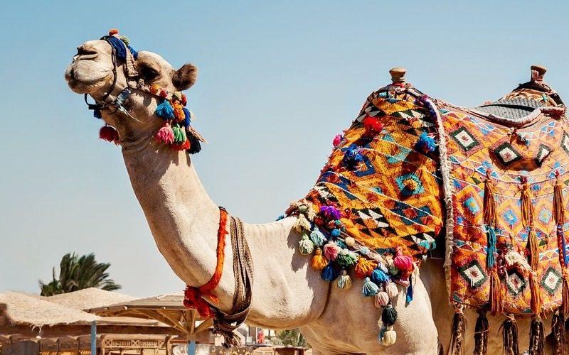 meilleures activités evjf marrakech - balade en chameau à marrakech